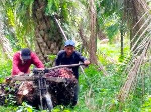 2 orang Warga Desa Air Hitam melangsir buah sawit menggunakan sepeda yang diberi keranjang.